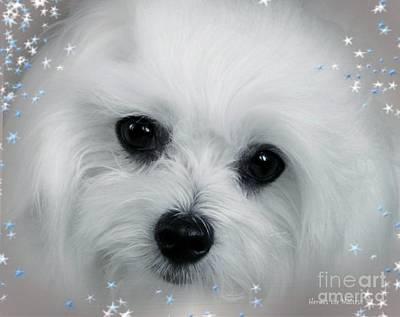 Maltese Dog Photograph - Hermes The Maltese by Morag Bates
