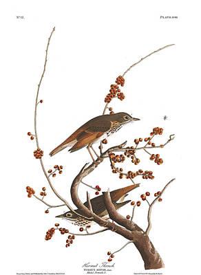 Thrush Wall Art - Painting - Hermit Thrush by John James Audubon