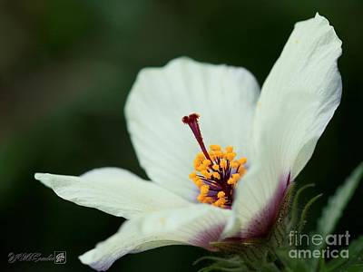 Photograph - Hibiscus Named Amethyst by J McCombie