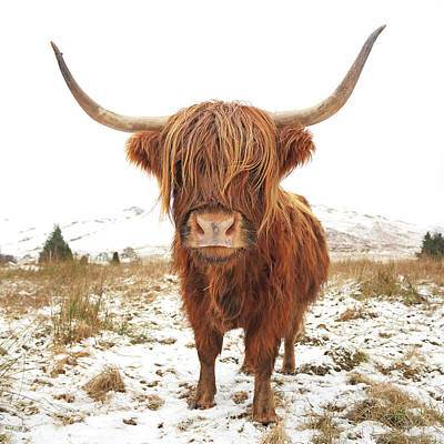 Mammals Photos - Highland Cow by Grant Glendinning