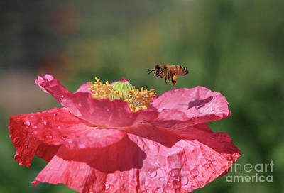 Poppy Wall Art - Photograph - Honey Bee by Gary Wing