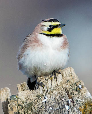 Photograph - Horned Lark by Norman Hall