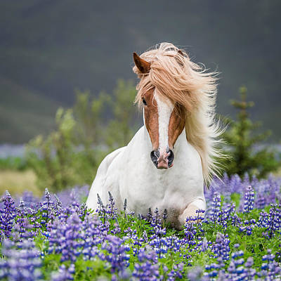 Domesticated Photograph - Horse Running By Lupines. Purebred by Panoramic Images