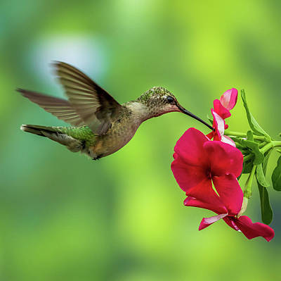 Photograph - Hummingbird by Allin Sorenson
