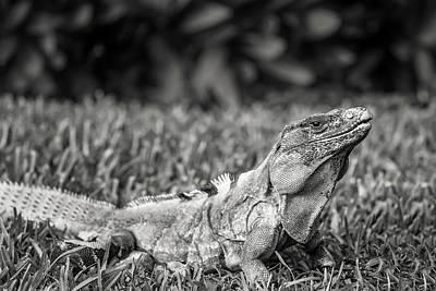 Photograph - Iguana by Peter Lakomy