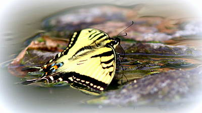 Claude Monet - IMG_0001 -  Tiger Swallowtail Butterfly by Travis Truelove