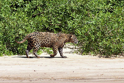 Popstar And Musician Paintings Royalty Free Images - Jaguar Walking on a River Bank Royalty-Free Image by Aivar Mikko