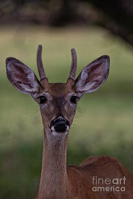 Photograph - Juvenile Deer by Douglas Barnard