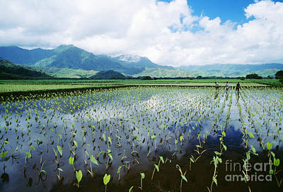 Kauai, Wet Taro Farm Art Print by Bob Abraham - Printscapes