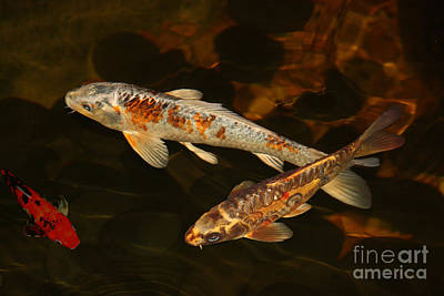 Butterfly Koi Photograph - 3 Koi by Terri Mills