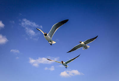 Photograph - Laughing Gulls by Alexey Stiop
