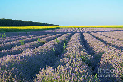 Photograph - Lavender Field by Irina Afonskaya