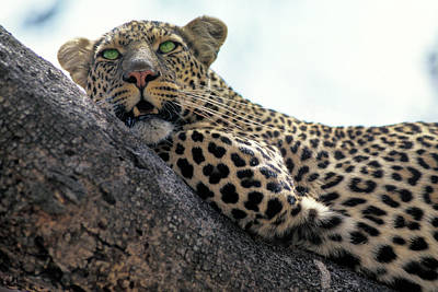 Photograph - Leopard In Kenya by Carl Purcell
