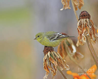Yellow Photograph - Lesser Goldfinch by Gary Wing