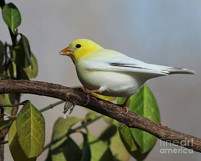 Photograph - Leucistic American Goldfinch by Jack  R Brock