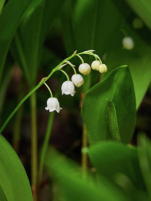 Photograph - Lily Of The Valley by Jouko Lehto