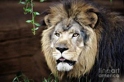 Lion Art Print by Paulette Thomas