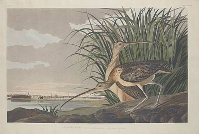 Animals Drawing - Long-billed Curlew by Dreyer Wildlife Print Collections