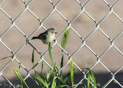 Photograph - Lucy's Warbler by Dee Carpenter