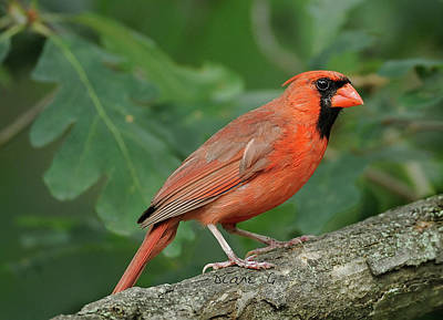 Photograph - Male Cardinal by Diane Giurco