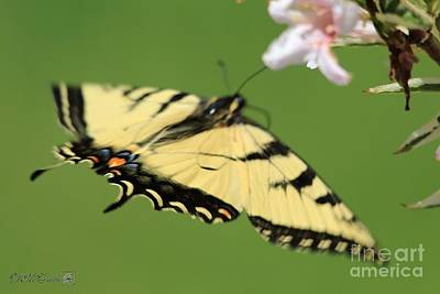 Photograph - Male Eastern Tiger Swallowtail Butterfly In Flight by J McCombie