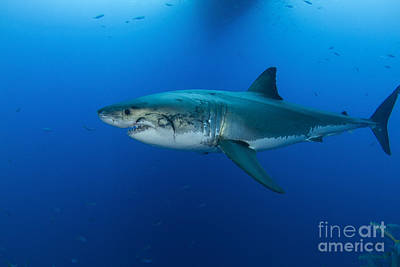 Male Great White Shark, Guadalupe Art Print by Todd Winner