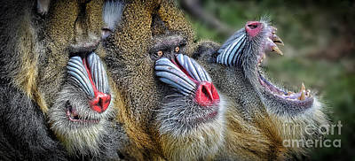 Jim Fitzpatrick Digital Art - 3 Male Mandrills  by Jim Fitzpatrick