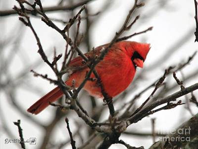 Photograph - Male Northern Cardinal In Winter by J McCombie