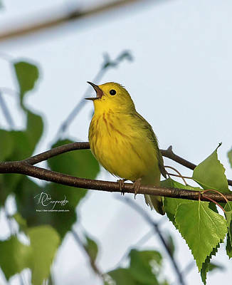 Photograph - Male Yellow Warbler by Dee Carpenter