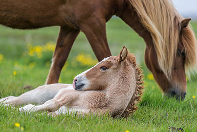Mare And New Born Foal, Iceland Art Print by Panoramic Images