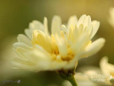 Photograph - Marguerite Daisy Named Madeira Crested Primrose by J McCombie