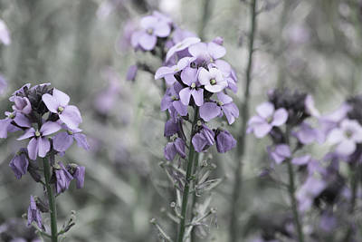 Photograph - Meadow Sage by Bonnie Bruno