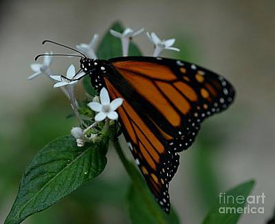 Photograph - Monarch Butterfly by Janice Spivey