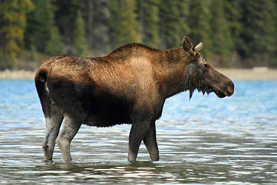 Photograph - Moose At Maligne Lake Jasper by Pierre Leclerc Photography