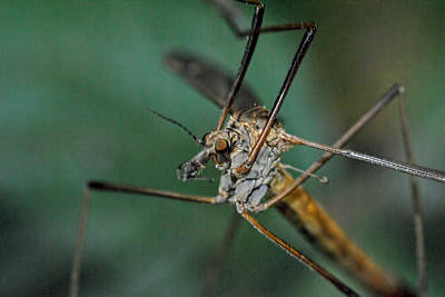 Photograph - Mosquito by Isam Awad