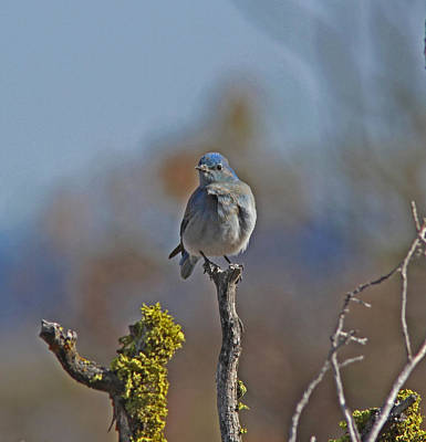 Male Photograph - Mountain Bluebird by Gary Wing
