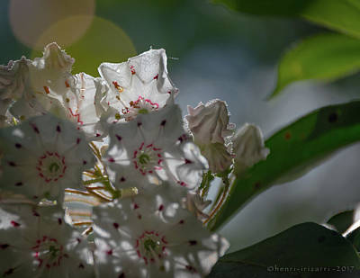 Photograph - Mountain Laurel by Henri Irizarri
