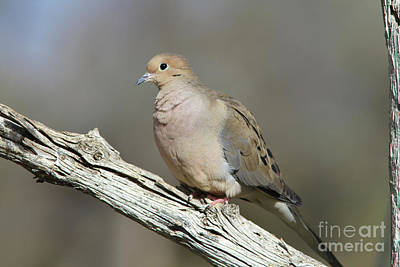 Bird Photograph - Mourning Dove by Gary Wing