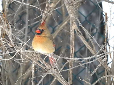 Photograph - Mrs Cardinal by Betty-Anne McDonald