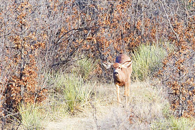 Steven Krull Royalty-Free and Rights-Managed Images - Mule Deer Doe by Steven Krull