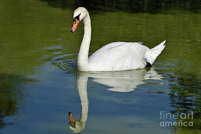 Swan Photograph - Mute Swan by George Atsametakis