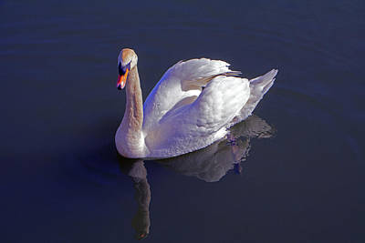 Photograph - Mute Swan by Tony Murtagh