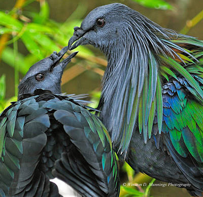 Photograph - Nicobar Pigeon by Winston D Munnings