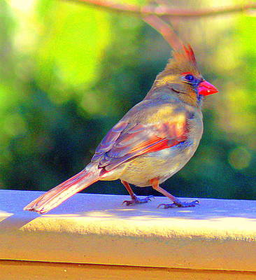 Eagls Digital Art - Northern Cardinal by Aron Chervin