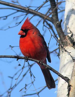 Northern Cardinal Art Print by Ricky L Jones