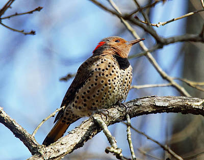 Photograph - Northern Flicker Woodpecker by Robert L Jackson
