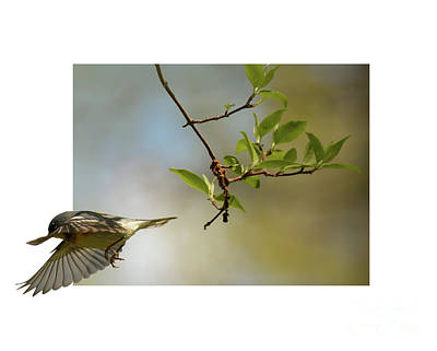 Photograph - Northern Parula by Charles Owens