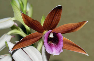 Photograph - Nun's Hood Orchid - Phaius Tancarvilleae by Larah McElroy