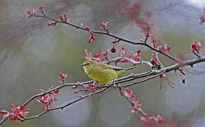 Tree Photograph - Orange-crowned Warbler by Gary Wing