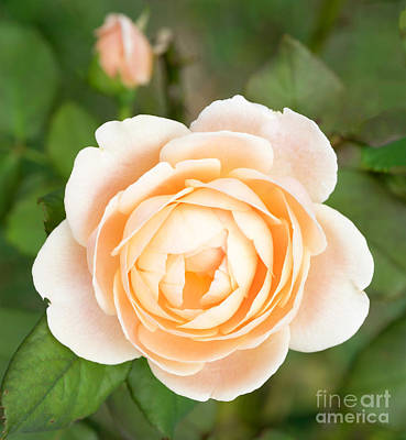 Photograph - Orange Rose by Cathy Donohoue